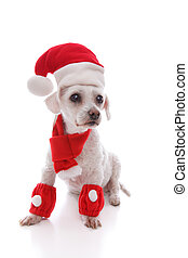 White dog wearing Santa hat, scarf and legwarmers