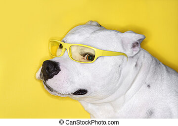 White dog wearing yellow glasses.