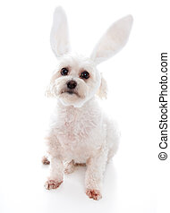 White dog with bunny ears - An alert white fluffy little dog...