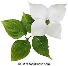 White dogwood flower isolated over background
