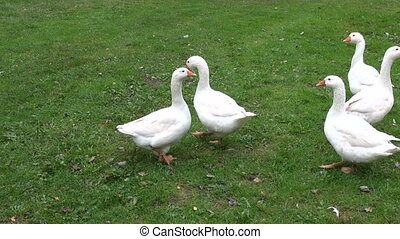 white domestic animal gooses