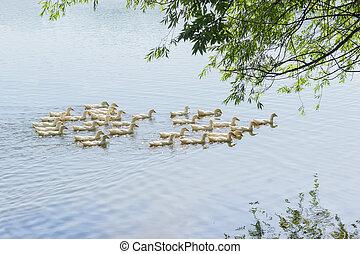 White domestic ducks on a pond