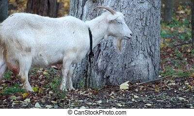 White domestic goats eat fallen yellowed leaves (Capra aegagrus hircus)