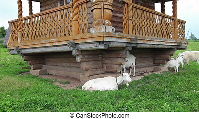 White domestic goats grazing on grass in the village near a wooden house