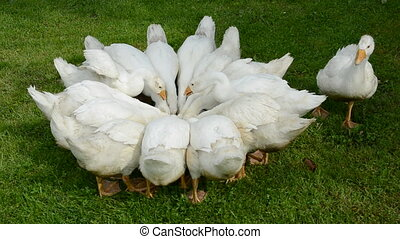 white domestic gooses group