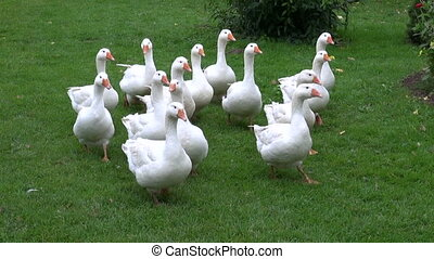 white domestic gooses on grass