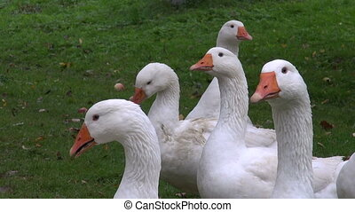 white domestic gooses