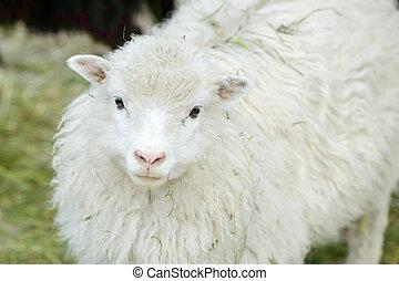 White domestic sheep