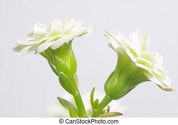 White double-flowering kalanchoe - macro