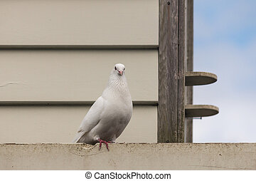 white dove at dovecote - close up of white dove at dovecote