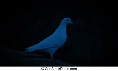 White Dove Flies Off At Night - White dove stands on ledge...