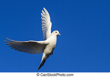 white dove flying in the blue sky having opened wings