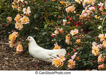 White dove in bed of roses