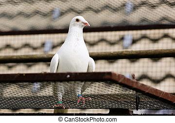 White dove on a breeding cage, peace symbolism