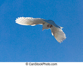 White dove in flight against a blue sky