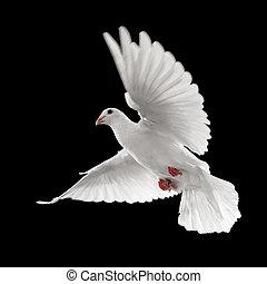 white dove in flight - flying white dove isolated on black...