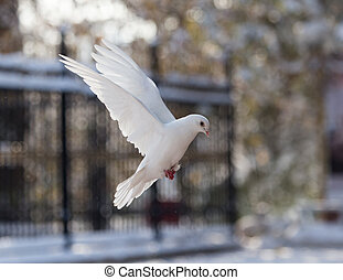 white dove in flight in the park
