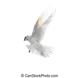 White dove in flight isolated on white background