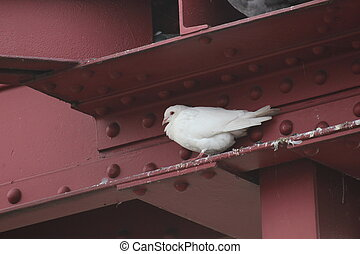 White dove in gap