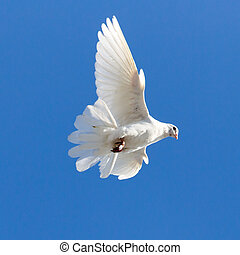 white dove on a background of blue sky