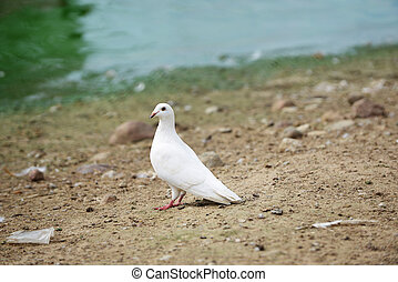 white dove on banks of pond