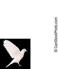 White dove on black