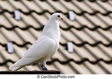 White dove on breeding cage - White dove on a breeding cage...