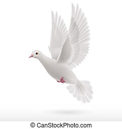 White dove - Realistic white dove flying on white...