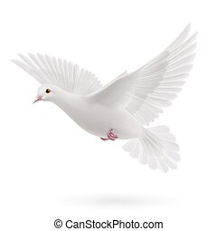 Realistic white dove on white background. Symbol of peace
