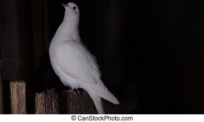 white dove sits in a dark room on a perch , Pets