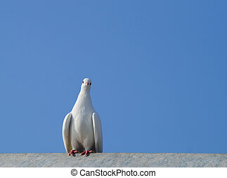 White dove sitting on a roof