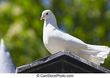 white dove sunbathing on a roof