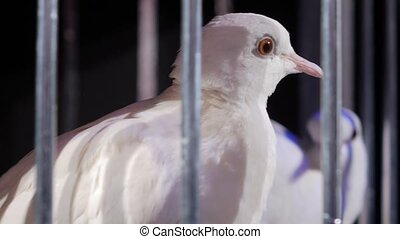 White doves in a cage on a dark background.