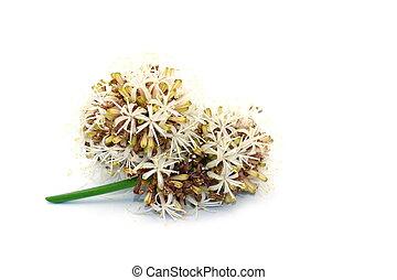 White Dracaena fragrans flower on white background