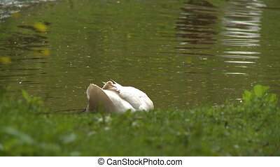 White duck at the edge of a lake