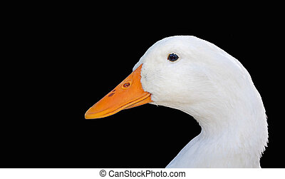 White Duck Face Isolated on Black