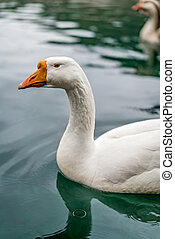 White duck in pond on a rainy day