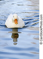 white duck on a pool