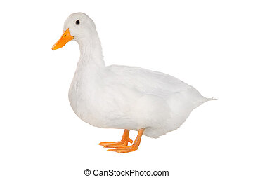 duck - white duck on white a background