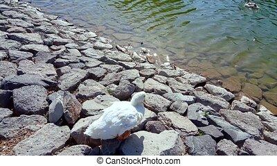 White duck with orange beak walking on the rocks towards the...