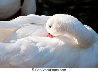 White duck with red bill preening itself