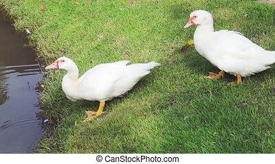 white ducks around pond - white duck in water bathing and...