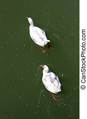 white ducks floating in the lake