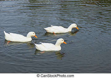 White ducks swimming in pond