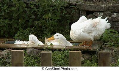 Steady, medium close up shot of three white ducks taking a bath.