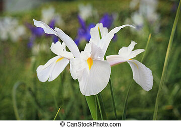 White Dutch Iris Flower Casablanca - Dutch Iris, variety...