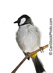 White-eared Bulbul bird - White eared Bulbul (Pycnonotus...