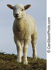 White Easter lamb in a meadow