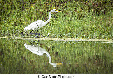 A white egret on the shore of a pond casts a reflection in calm water near Deleon Springs, Florida.