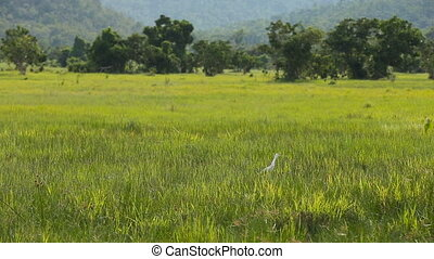 white egret bird in green field.